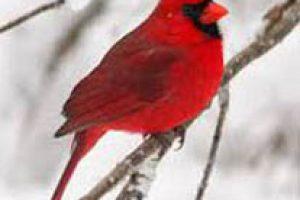 amem_cardinal1