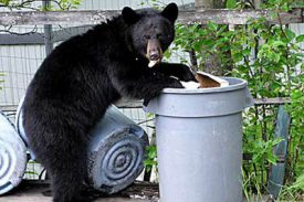 Black bear sightings on the rise in Pulaski County