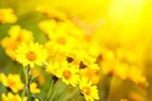 amem_gold_daisies