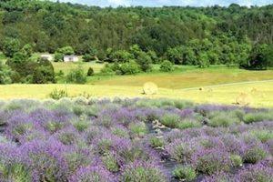 mystic-river-lavender