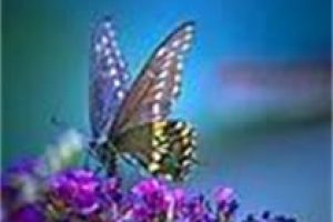 amem_butterfly-blue