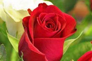 amem_rose1