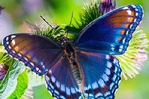 amem_butterfly2