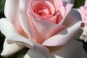 amem_pinkrose