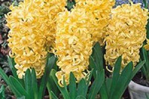 amem_yellow_hyacinth