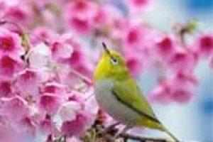amem_songbird