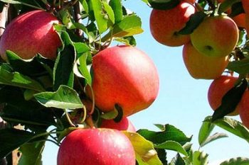 3/28: Apple Grafting Workshop
