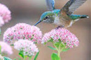 amem_hummingbird2